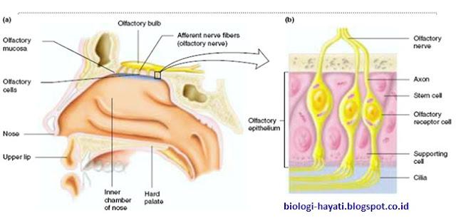 (a) lokasi (b) struktur mukosa olfaktorius