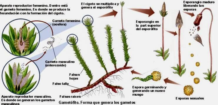 Reproduccion asexual vegetativa bulbospinal tract