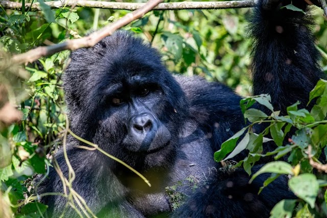 The Best Places to Go Gorilla Trekking in Africa