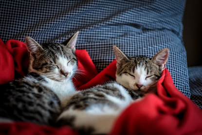 two tabby and white cats sleeping next to each other