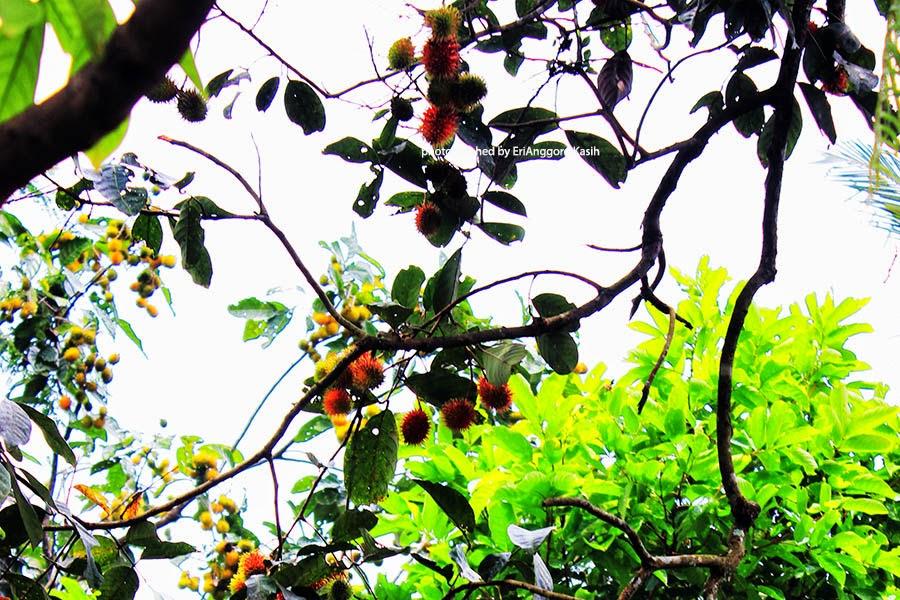 Buah Rambutan (Nephelium lappaceum) berusia 100 tahun di Tasikmalaya
