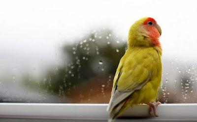 Panduan Merawat Lovebird Di Musim Hujan Paling Lengkap Dan Akurat
