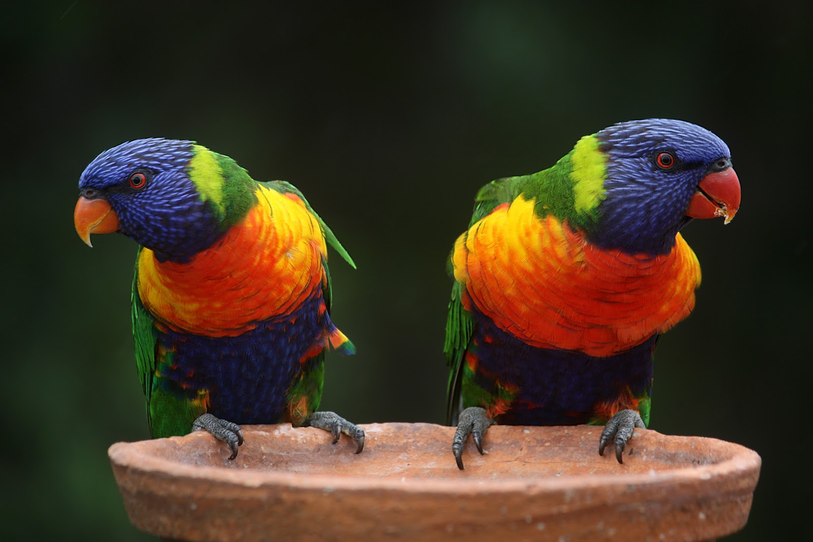 blue-green-and-orange-parrot-birds-pictures