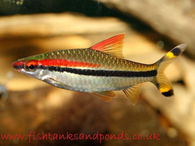 Gambar Mari Lihat Profil Dan Cara Merawat Ikan Hias Red Line Torpedo Barb