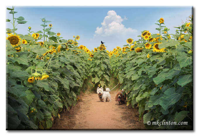 Westie and Basset Hound in sunflower field
