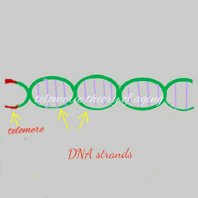 Telomere theory of aging
