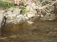 Common sandpiper, Onda River, Naruse, Machida, Japan - March 2013, © Denise Motard