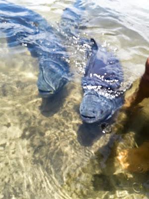 Peixes tambaquis da Lagoa dos Tambaquis, no estado de Sergipe