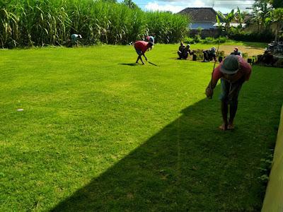 8 Jenis Rumput Taman Dan Harga Serta Gambarnya