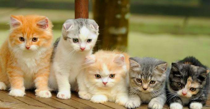 Media Vaganza: 8 Jenis Kucing Paling Mahal Di Dunia Dan