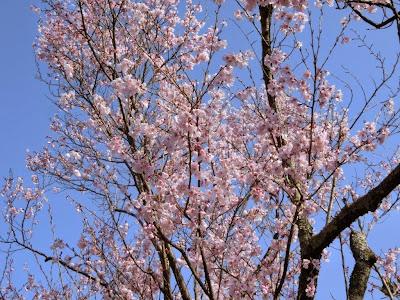 東慶寺の彼岸桜