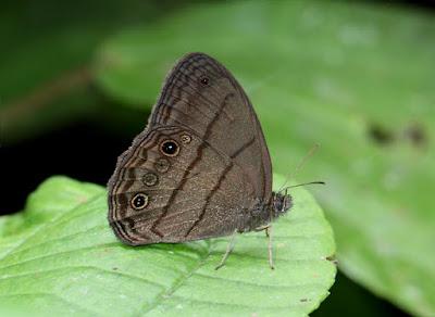 mariposas argentinas Hermes