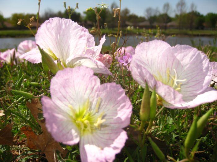 Durango texas texas wildflowers in bloom including pink evening texas wildflowers in bloom including pink evening primroses in wichita falls mightylinksfo