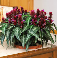 A plant with long green leaves and dark red flower spikes-BRAZILIAN FIREWORKS (Porphytocoma pohliana)