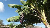 Banana plant, Diamond Head Community Garden - Waikiki, HI
