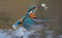 Kingfisher Bird facts in Hindi