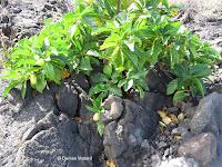 Indian mulberry - Kaloko Konokohau National Historical Park, Big Island, HI