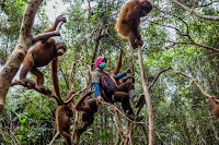 Young orphaned orangutans on a climbing expedition with their keeper at International Animal Rescue's orangutan school in West Kalimantan, Indonesia. (Credit: Kemal Jufri for The New York Times) Click to Enlarge.