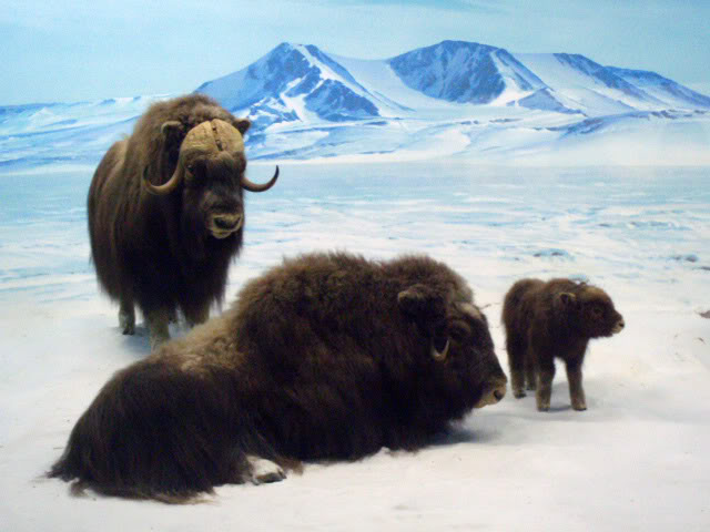 Male and female musk ox with baby in the arctic.