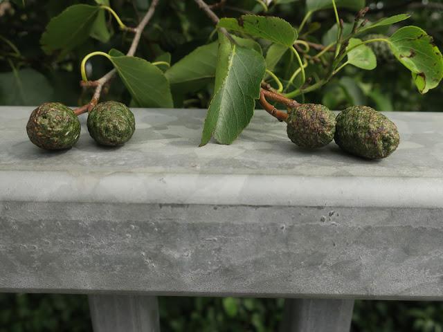 Italian Alder (Alder cordata) cones and leaves on tree