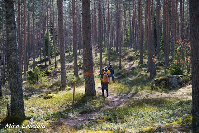 Kolme naista kävelee avarassa mäntymetsässä polkua pitkin