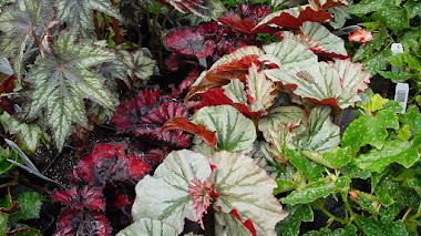 Begonia Rex y compañía: atractivas hojas para decorar con plantas