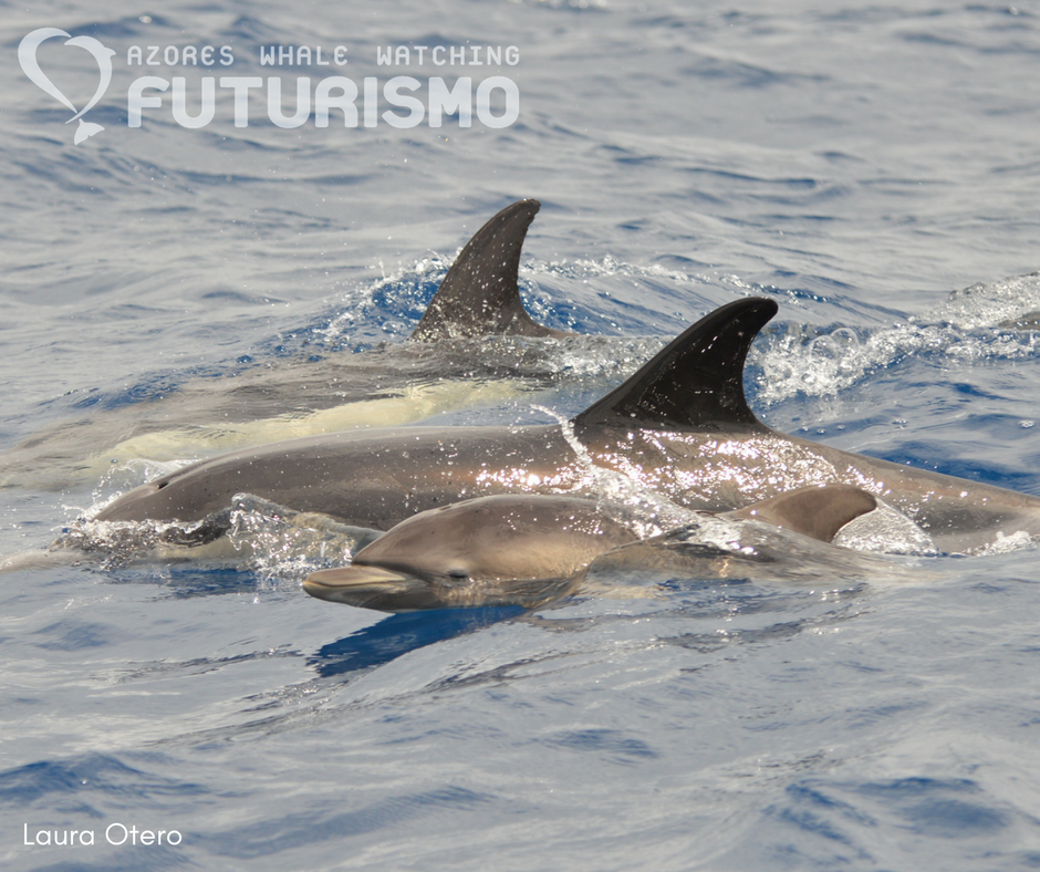 Azores whale watching Futurismo: Dolphin day with common ...