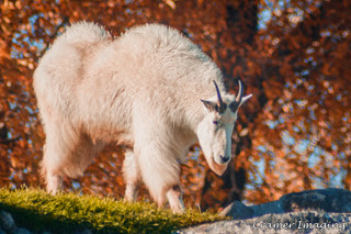 Cramer Imaging's professional quality nature photograph of a white mountain goat climbing a rock pile with autumn leaves in Rigby, Idaho