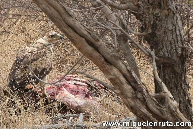 Aguila-carroña-Kruger