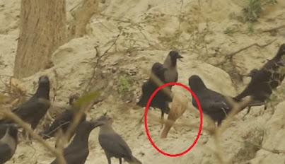Ular kobra dikelilingi burung gagak