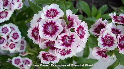 william dwarf examples of biennial plant pictures