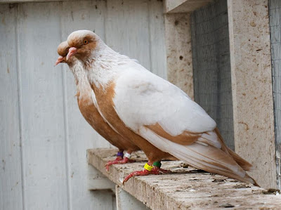 danish colour pigeons - pigeons breed