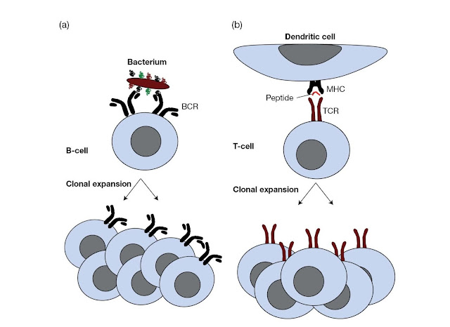 """B‐cells and T‐cells """"see"""" antigen in fundamentally different ways"""