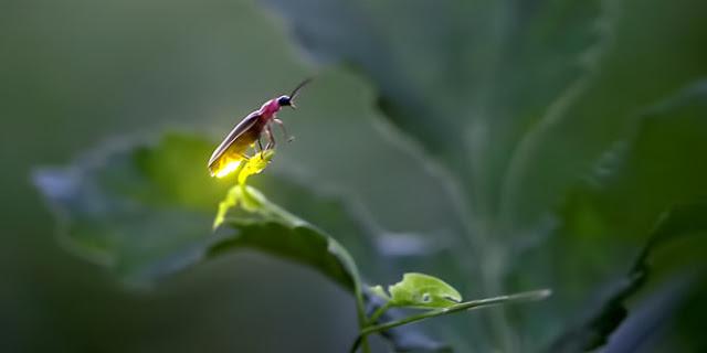 Cahaya pada kunang kunang dan penjelasan secara fisika