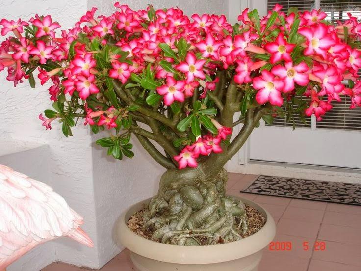 Diário De Uma Sementeira Como Cuidar De Uma Rosa Do Deserto