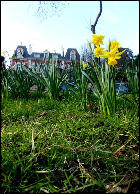 Daffodils jonquilles Versailles