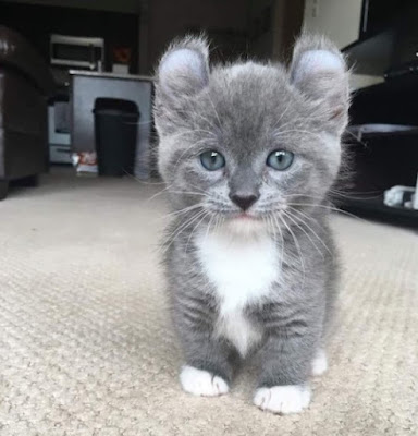 Cara Merawat Ras Kucing Kinkalow