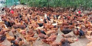 harga ayam joper