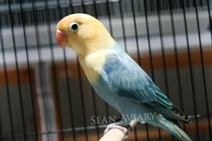 Jenis Lovebird Biola Termahal yang Harus Anda Ketahui
