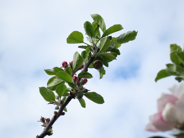 Slim apple branch with unopened blossom with a snail on the underside of a leaf.