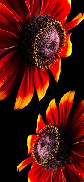 خلفية أزهار جميلة لها بتلات حمراء اللون