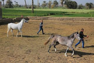 قرية الخيول