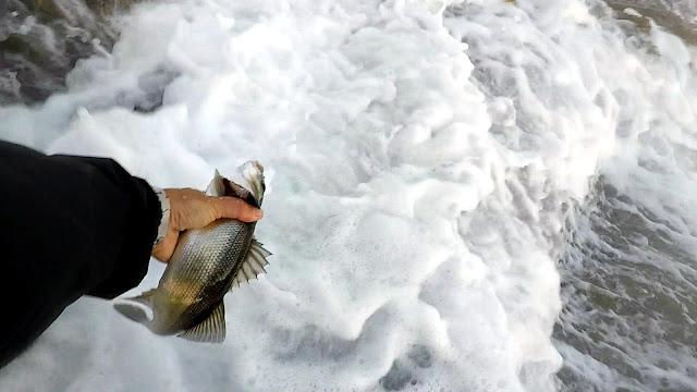 SUELTA - Terminando el verano y los primeros síntomas de actividad en la costa 👍