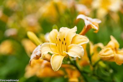 Powsin ogród botaniczny PAN rośliny kwitnące