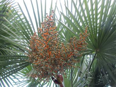Frutti Immaturi Trachycarpus fortunei