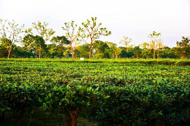 Mathura Tea Garden, Alipurduar @DoiBedouin