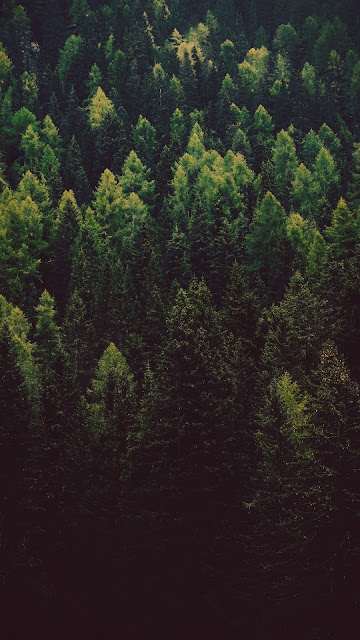 Pines, Conifers, Forest, Trees