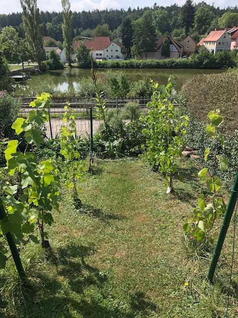 Weinberg im Garten  (c) by Joachim Wenk
