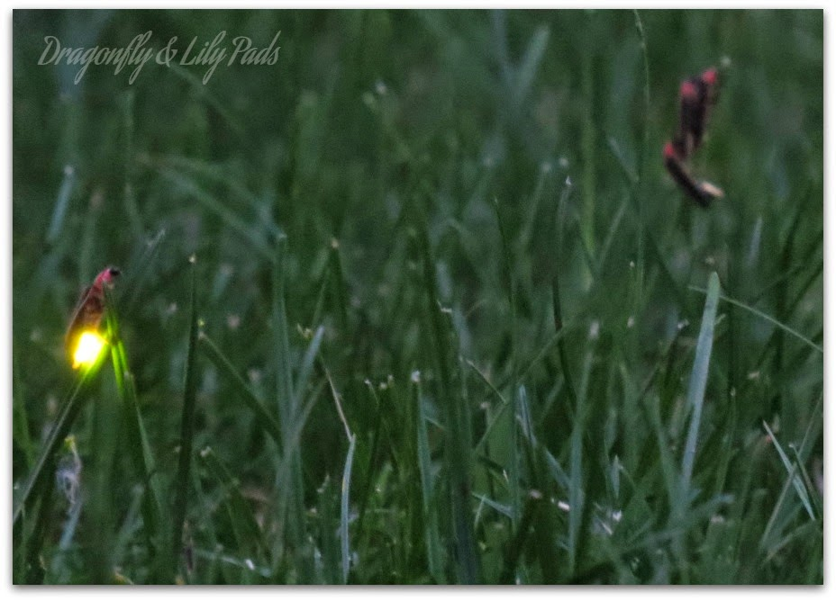 Lightning Bugs, Grass, Summer, Dusk