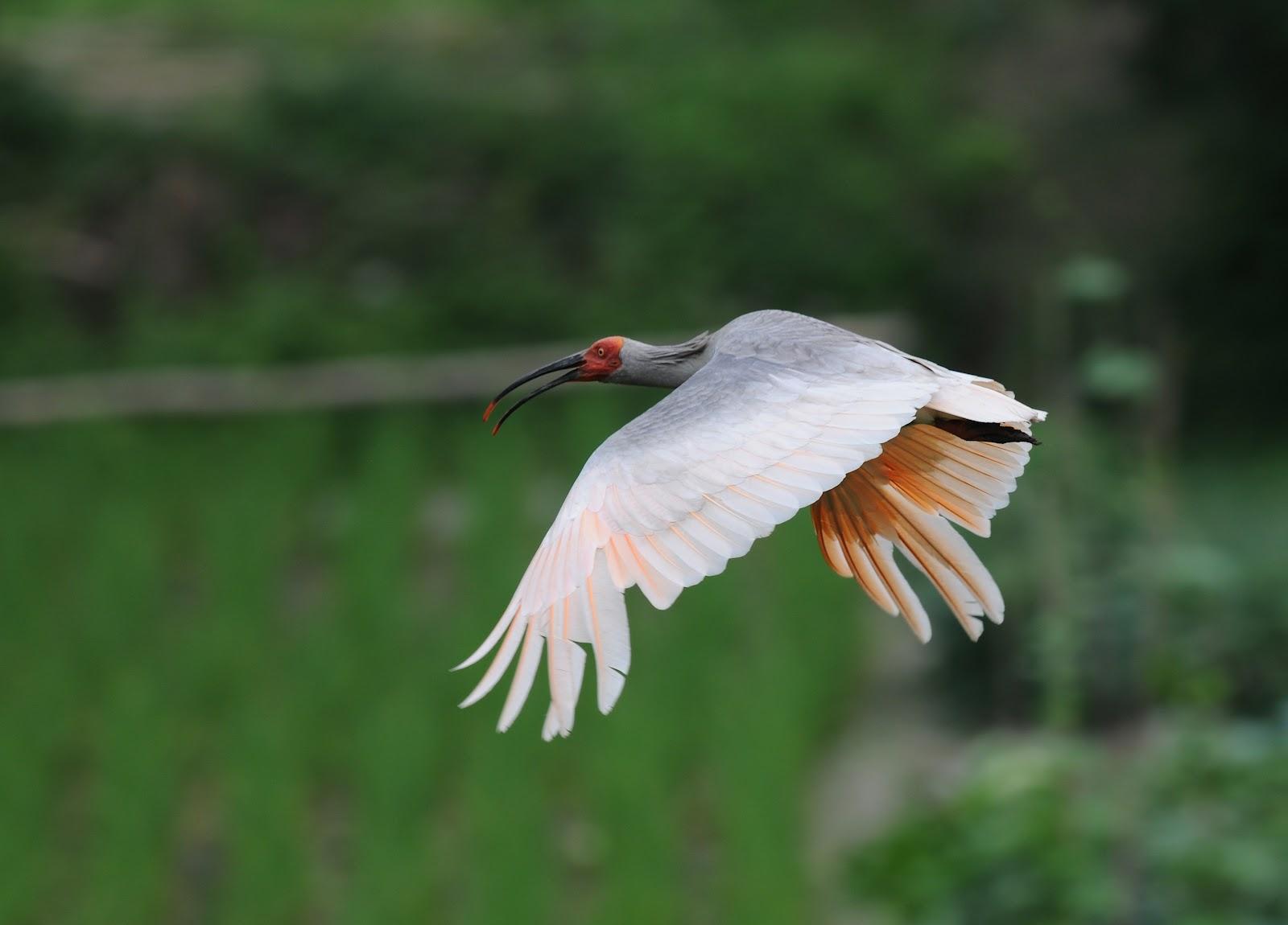 ZOOTHERA BIRDING BLOG: Crested Ibis